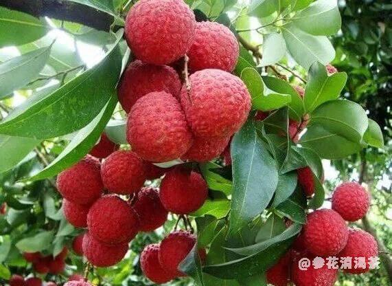 吃荔枝不能治疗糖尿病